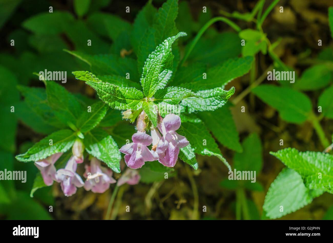 Mellite à feuilles de mélisse, La Sainte Baume, Var, France Photo Stock
