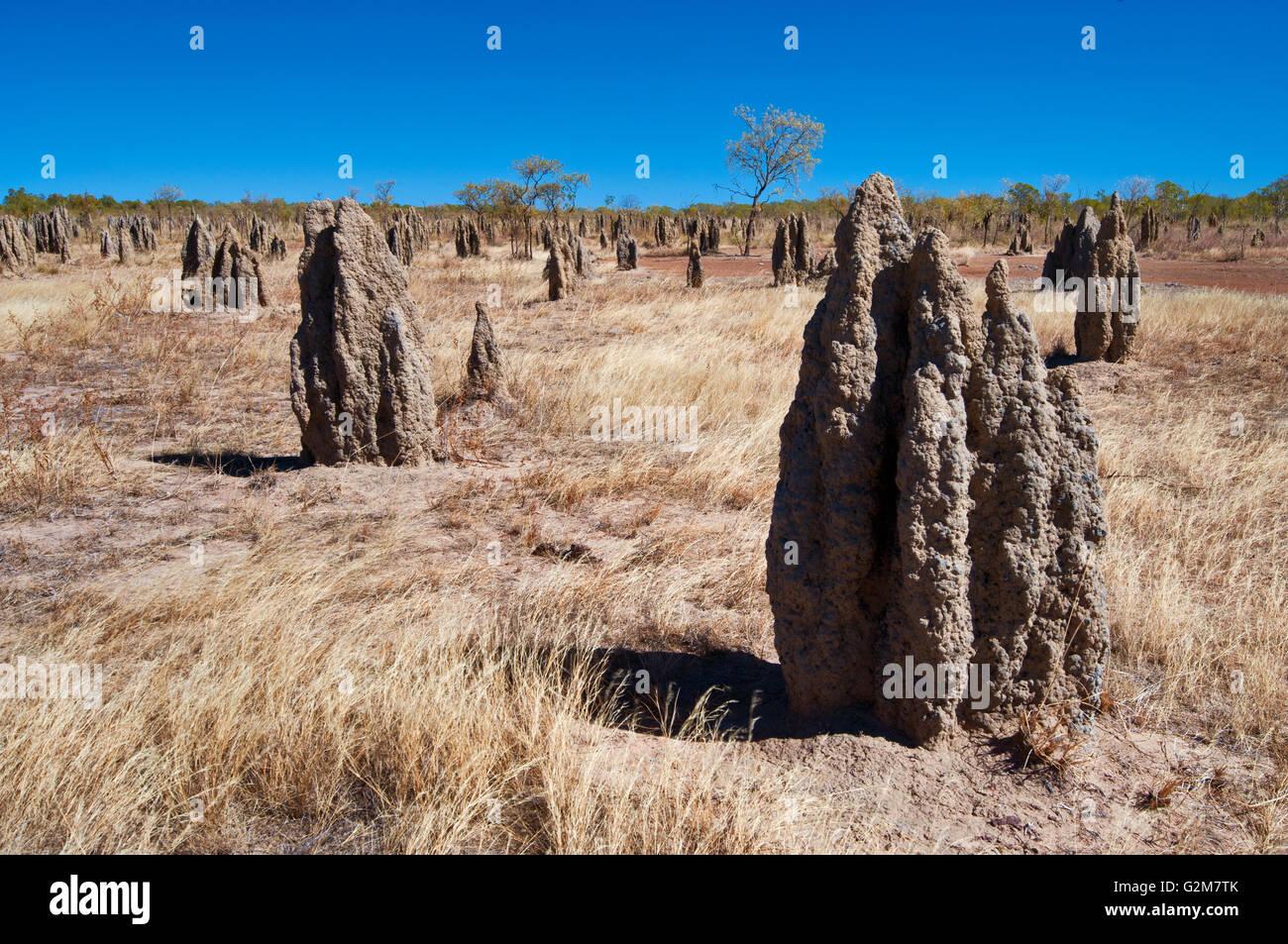 Termitières à côté du chemin de la savane, dans le nord tropical. Photo Stock
