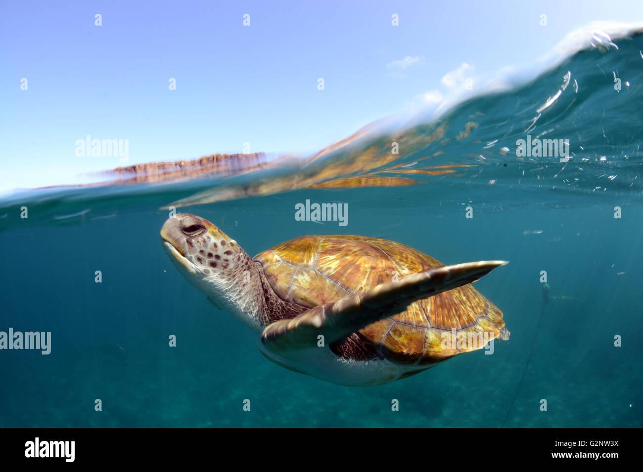 Sous l'eau des tortues vertes à El Puertito, Costa Adeje, Tenerife Banque D'Images