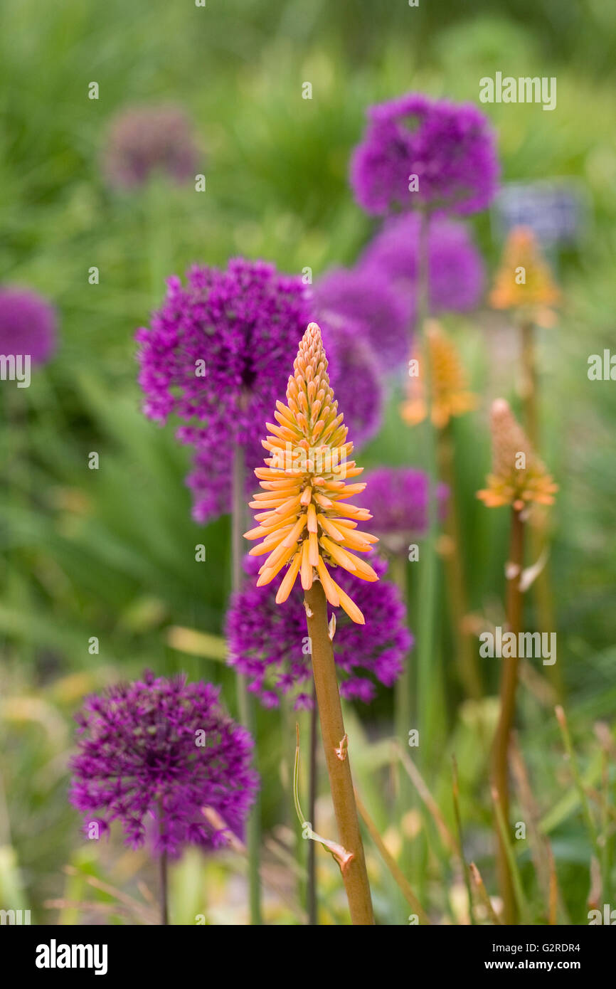 Kniphofia 'Fiery Fred' en face de l'Allium 'Purple Sensation'. Photo Stock