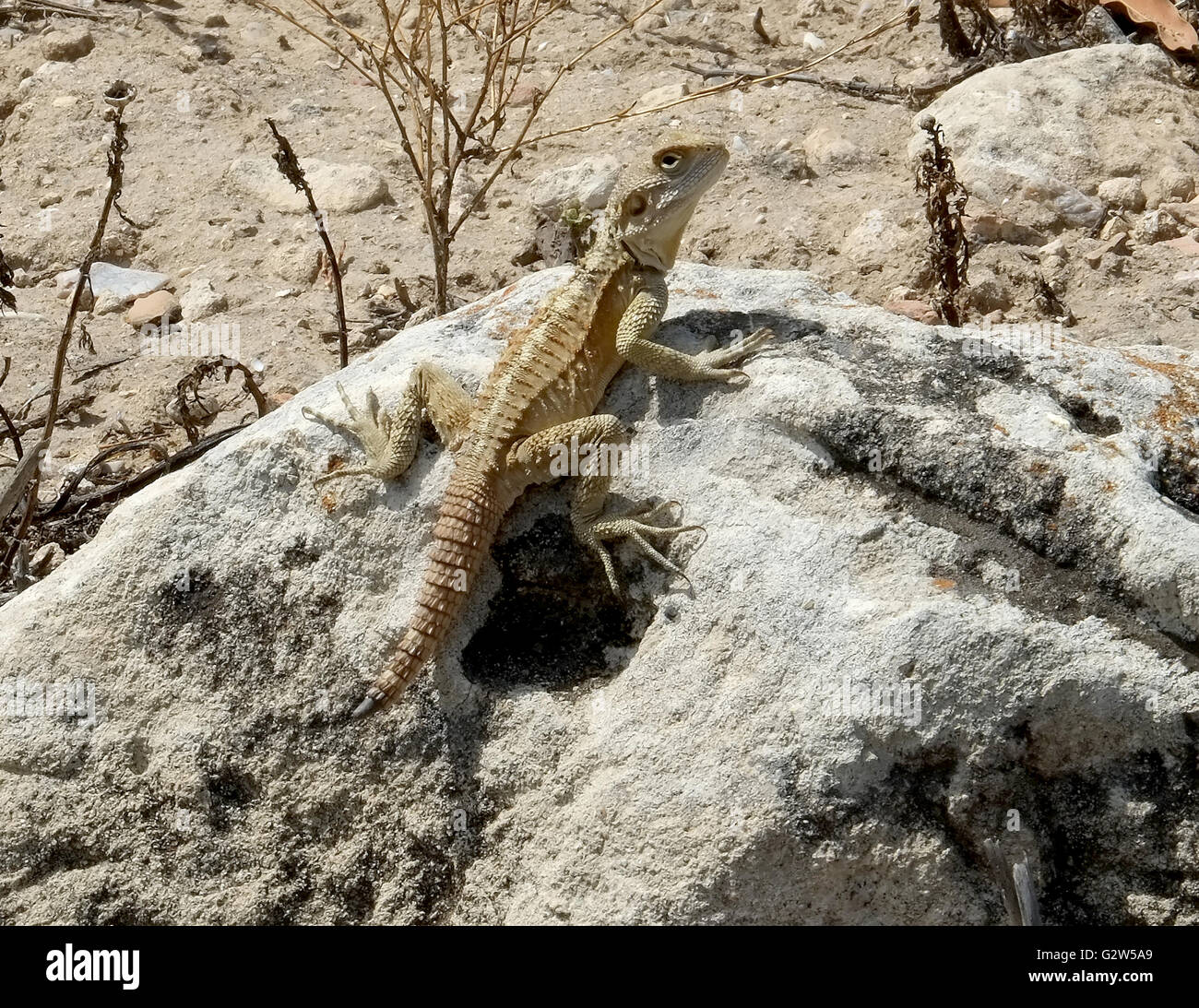 Lézard Gecko (infraordre Gekkota) sur un rocher, les salamis, Famagusta, (Gazimagusa), Chypre du Nord. Photo Stock