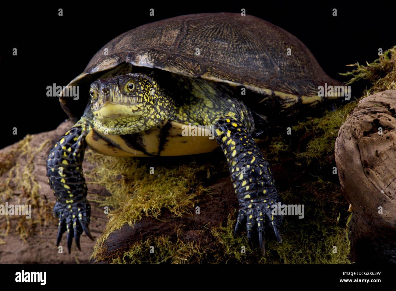 La tortue cistude (Emys orbicularis) Photo Stock