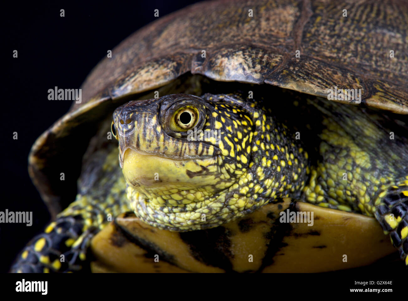 La tortue cistude (Emys orbicularis orbicularis) Photo Stock