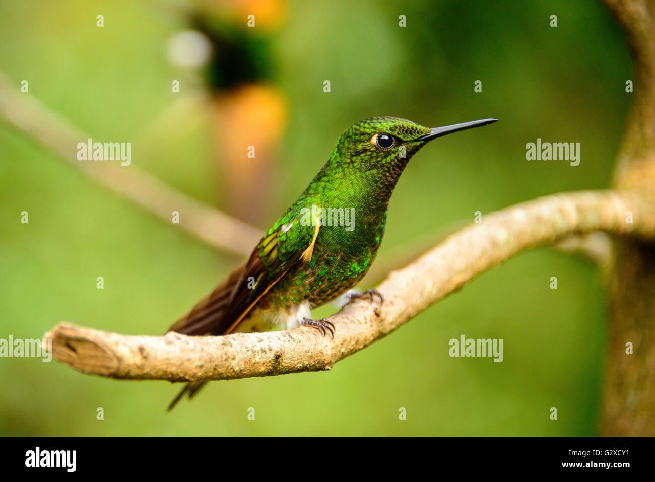Les oiseaux dans la vallée de Cocora près de Santa Marta en Colombie Photo Stock