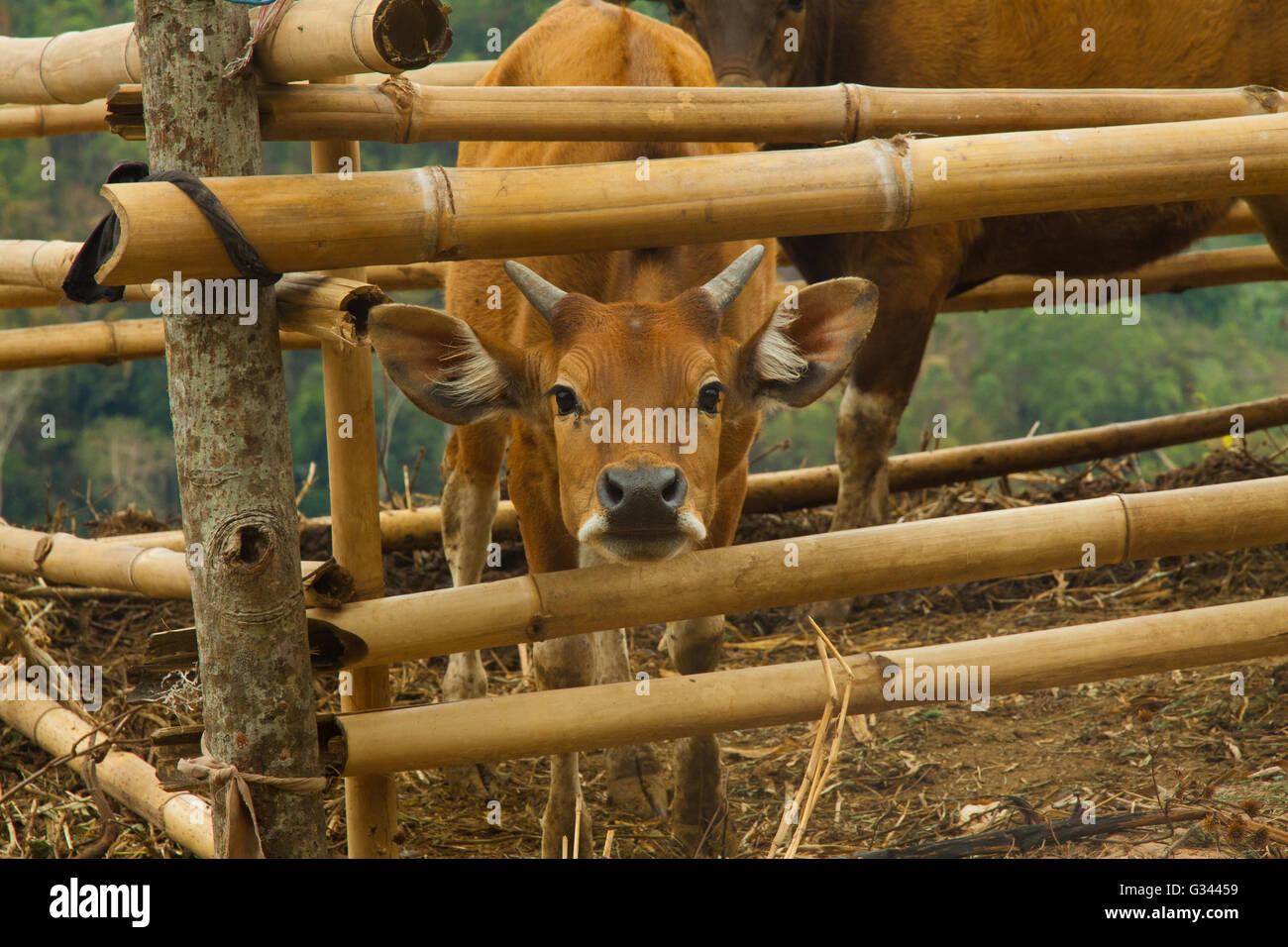 La race bovine Vache dans un style local traditionnel ferme avec bamboo huts sur Flores, Indonésie Banque D'Images