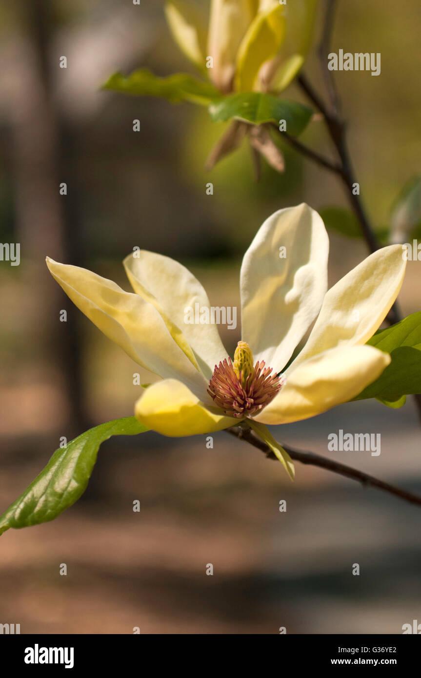 Magnolia éruption solaire, jaune, Banque D'Images