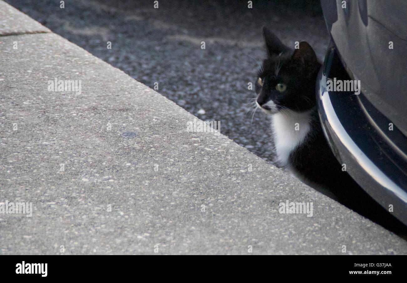 Une semi-feral cat se cachant derrière une voiture d'un autre humain. Photo Stock