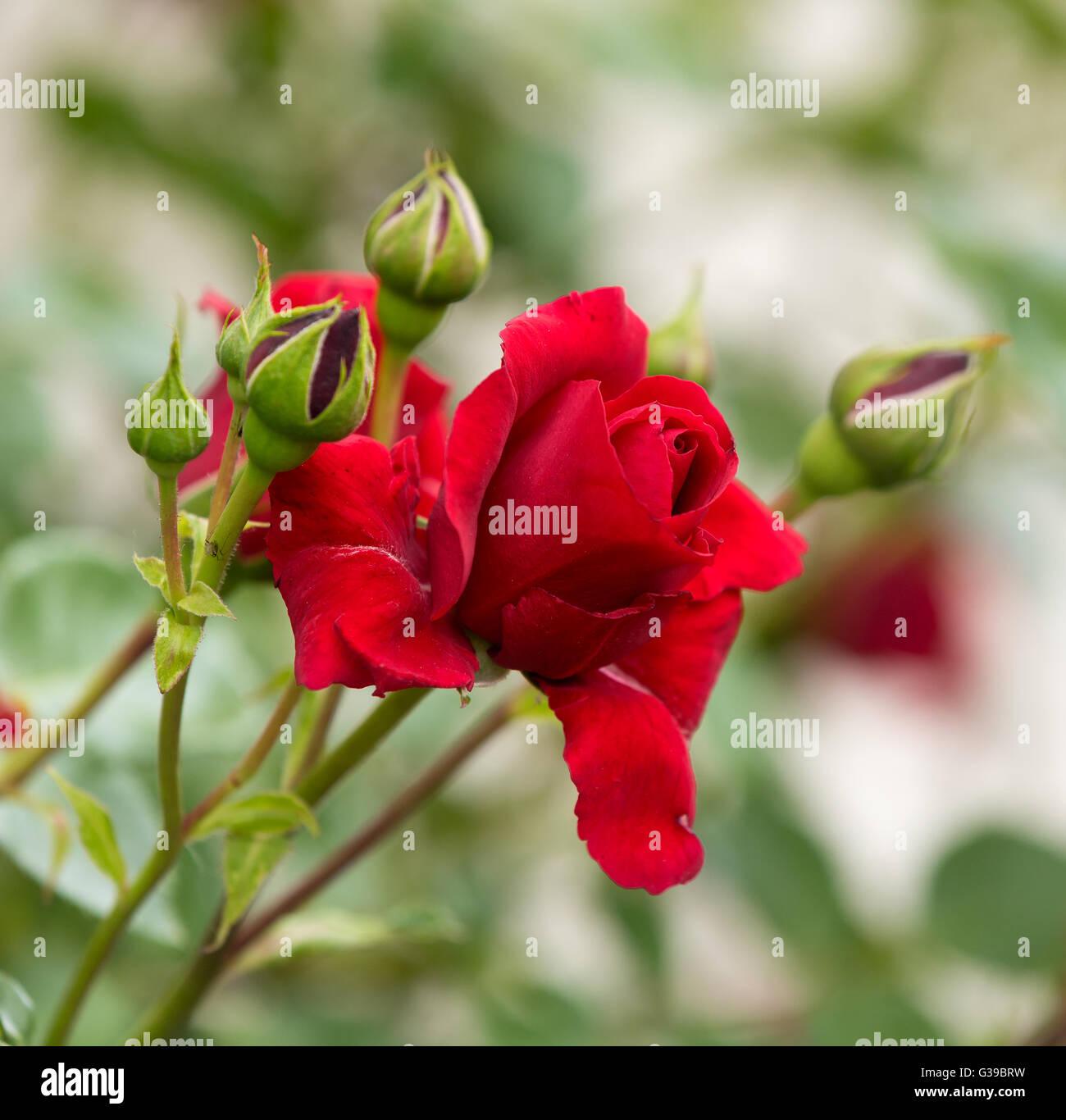 Belles Roses Rouges Au Jardin Scène Damour Romantique Dans
