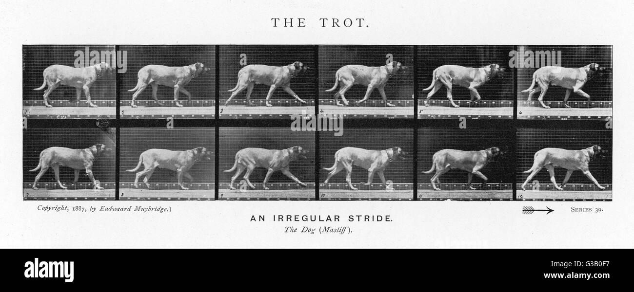 (Chien mastiff) trotting: stride irrégulière Date: 1880 Photo Stock