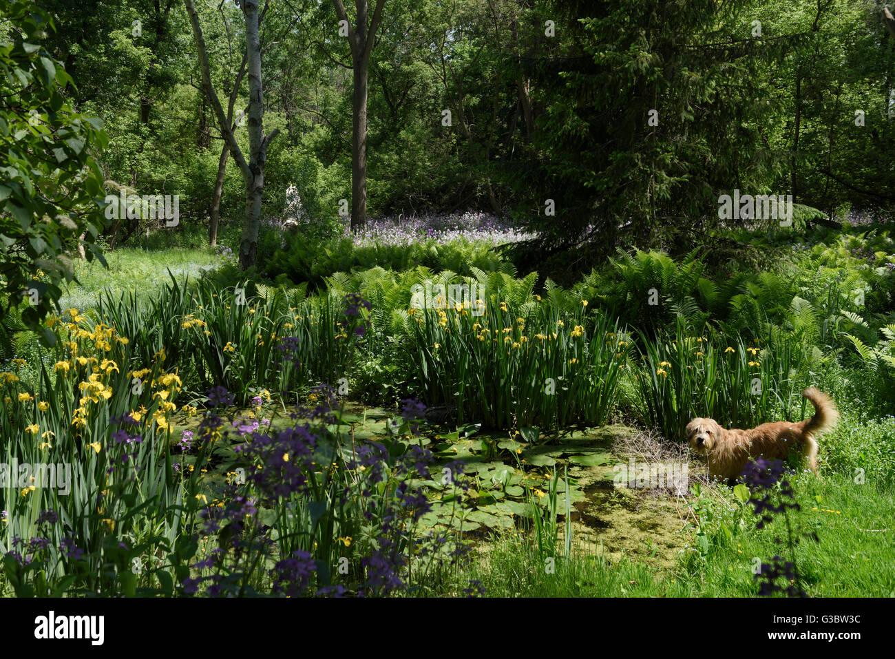 Chien jouant dans un étang naturel sauvage en forêt avec dames rocket et iris jaune arrière-cour Photo Stock