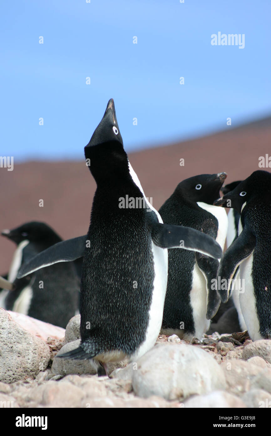 Mignon pingouin Adélie Antarctique d'effectuer un appel d'accouplement en Antarctique Photo Stock