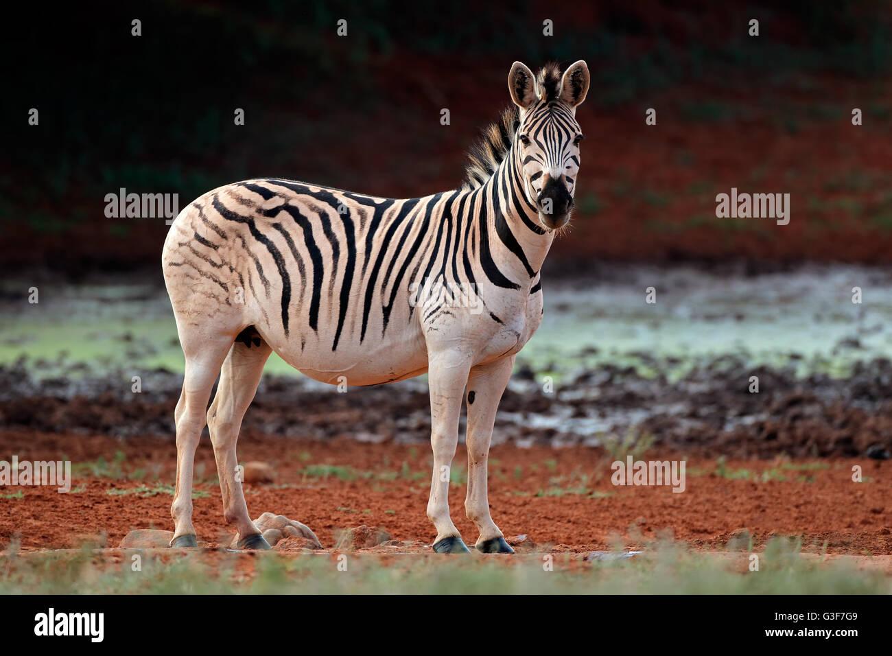 Une plaine (Burchell) Zèbre (Equus burchelli) dans l'habitat naturel, l'Afrique du Sud Photo Stock