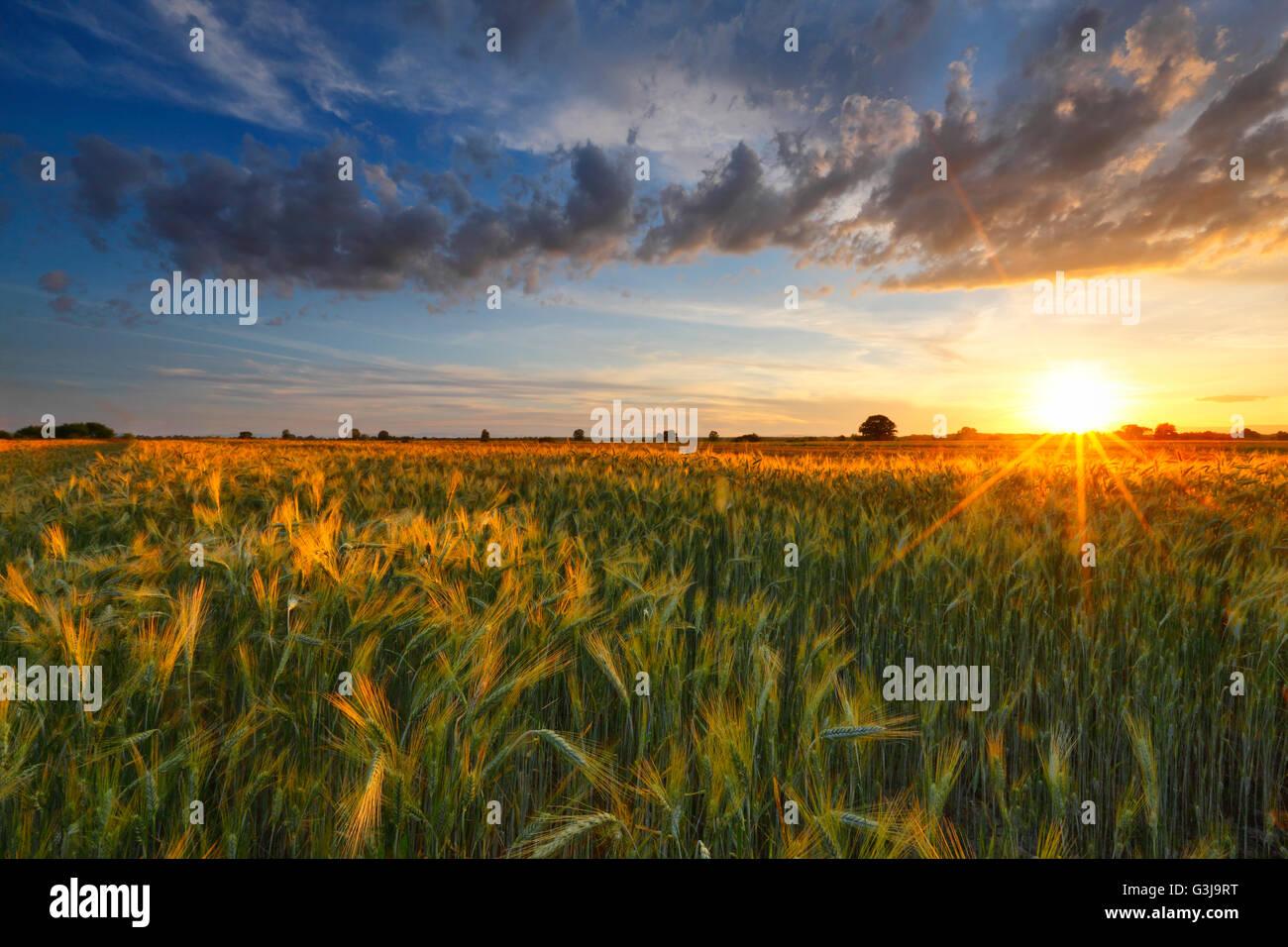 Champ de blé au coucher du soleil et nuages Photo Stock