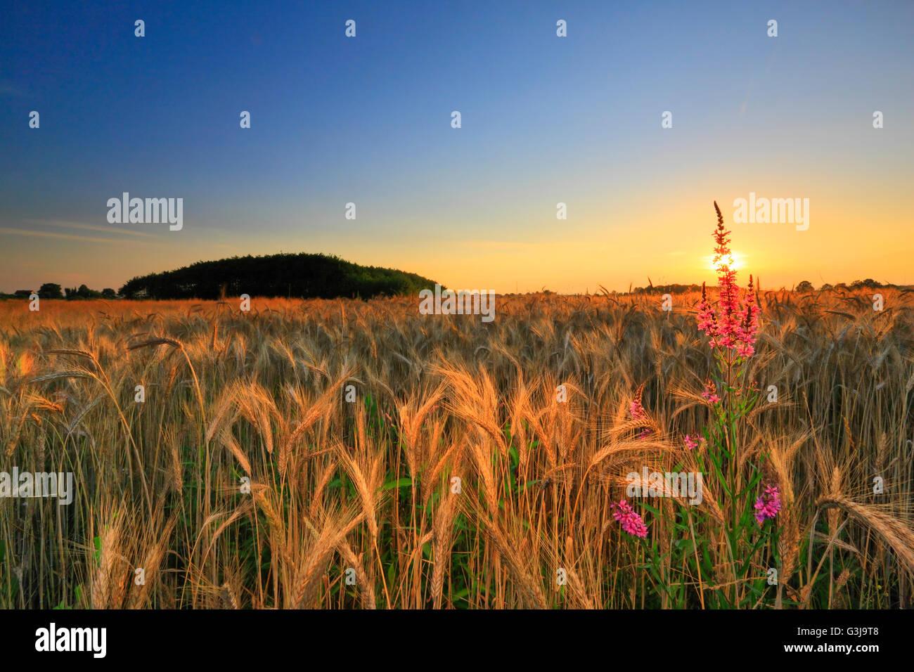 Coucher du soleil dans le champ de blé Photo Stock