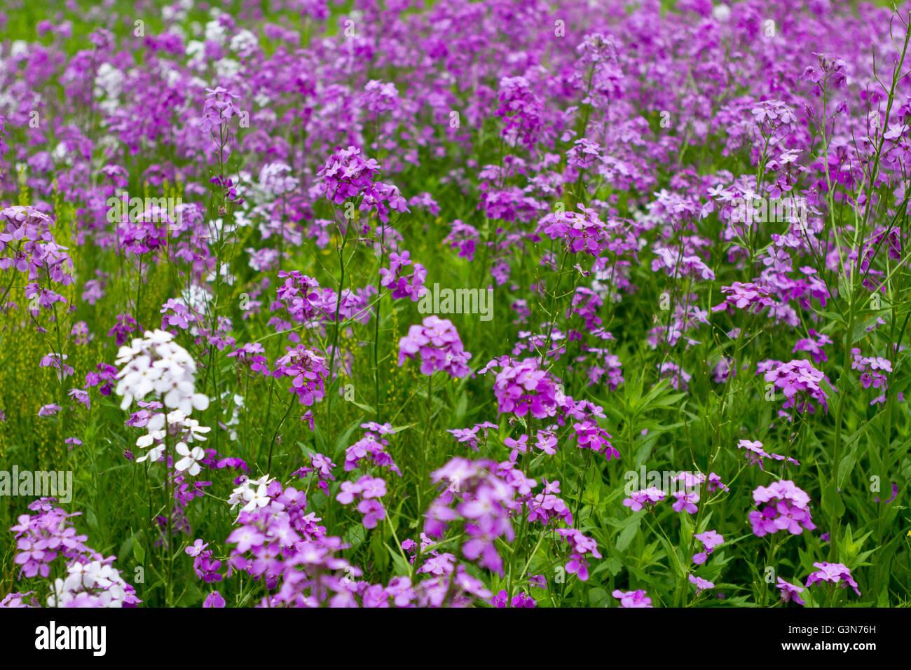 Domaine de l'abondance de fleurs pourpre, Dame's Rocket, Hesperis matronalis Photo Stock