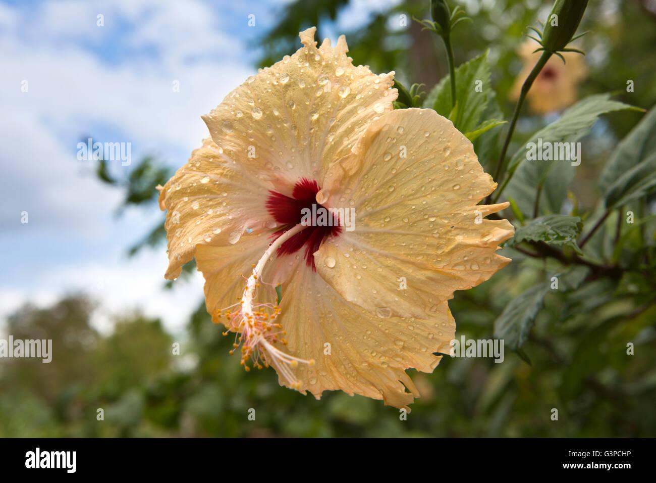 Sri Lanka, Kataragama, gouttes de pluie sur la fleur d'hibiscus orange pâle Photo Stock