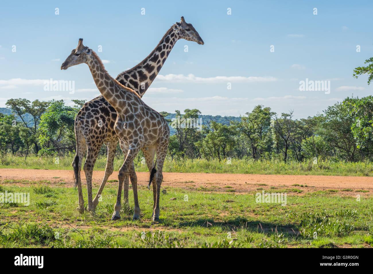 Enseignement girafe sa progéniture pour combattre dans l'Welgevonden Game Reserve en Afrique du Sud Photo Stock