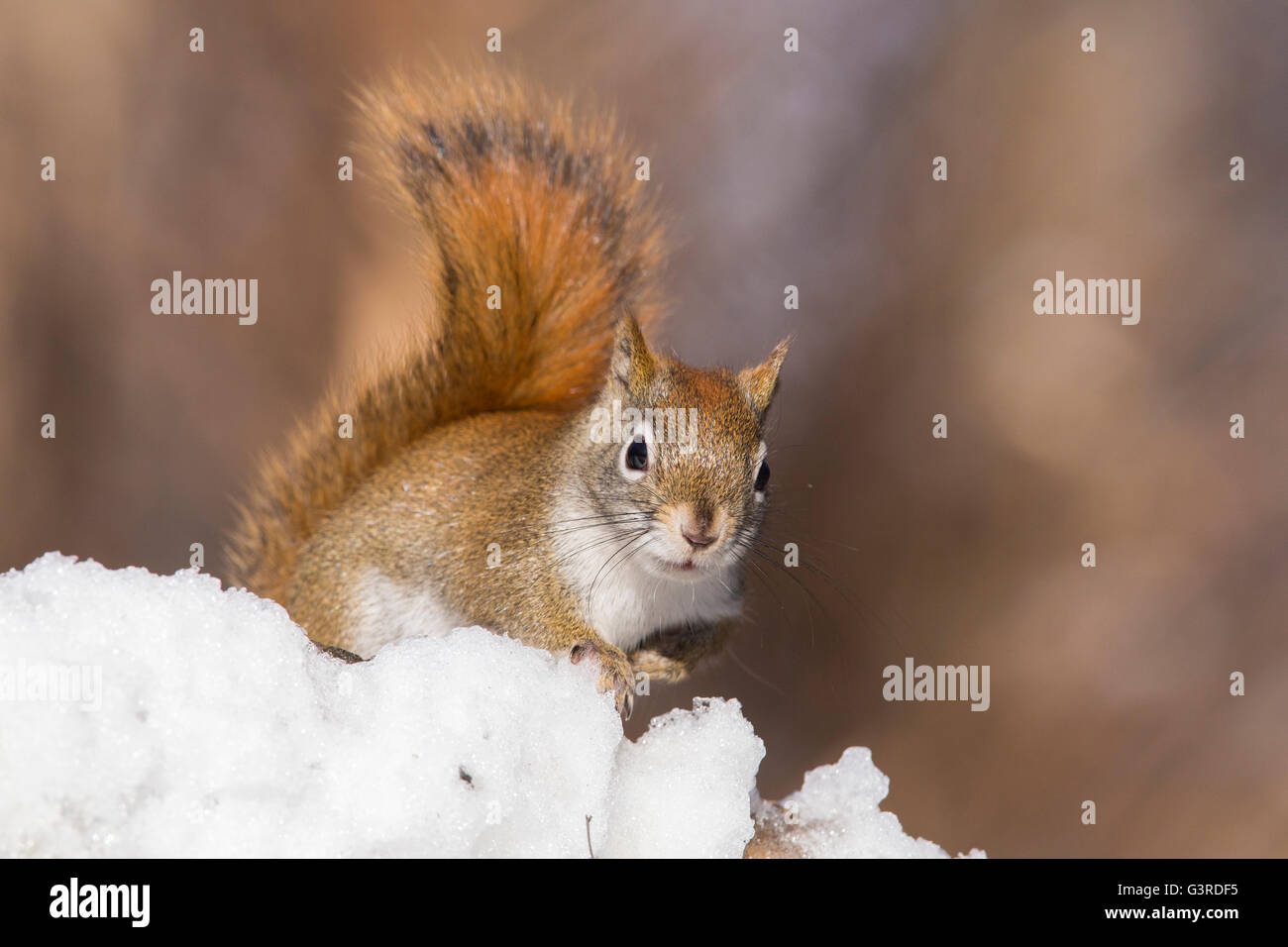 Funny North American écureuil rouge en hiver Photo Stock