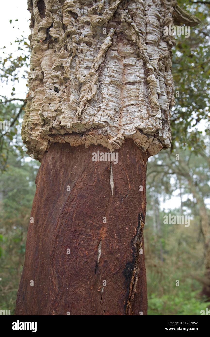 Le chêne-liège Quercus suber avec écorce retirée en partie inférieure du sud de la France Photo Stock