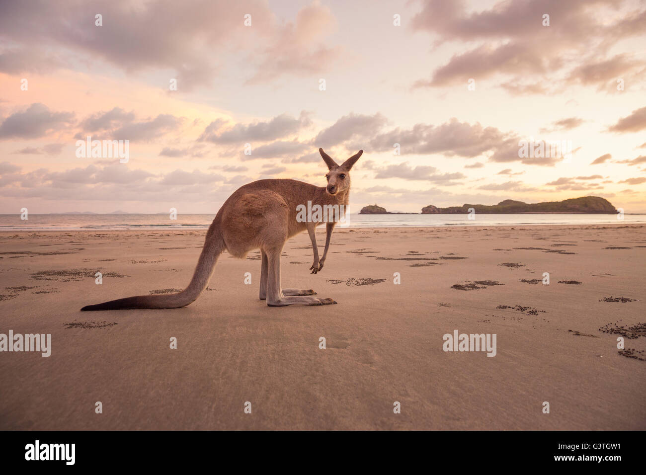 L'Australie, Queensland, Cape Hillsbourgh, kangourou (Macropus) sur la plage au coucher du soleil Photo Stock