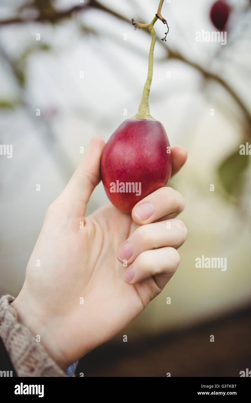 Vue en gros plan de mains ramasser prune Photo Stock