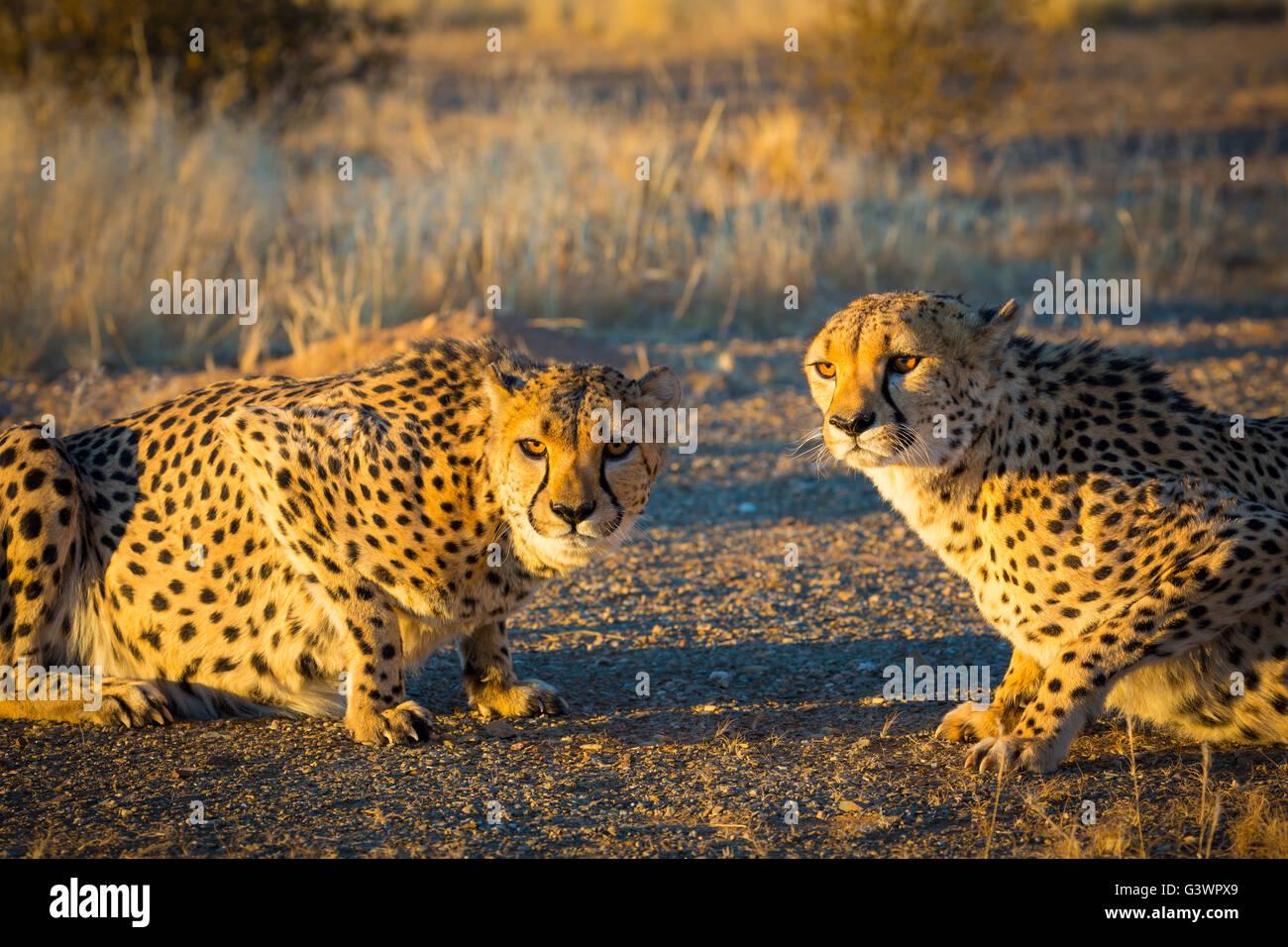 Le Guépard (Acinonyx jubatus) est un gros chat qui se produit principalement en Afrique orientale et australe. Banque D'Images