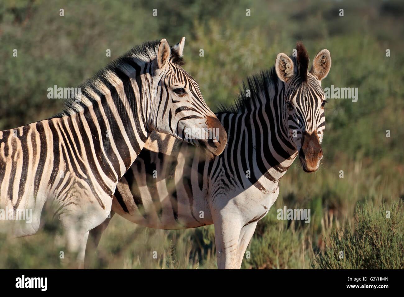 Portrait de deux plaines (Burchell) zèbres (Equus burchelli), Afrique du Sud Photo Stock