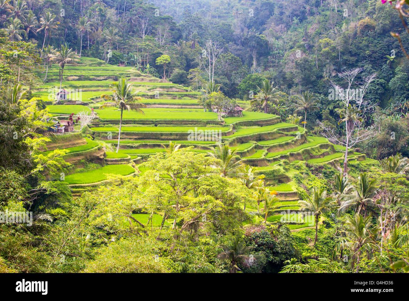 Les récoltes de champs de riz sur une chaude après-midi ensoleillée près de Ubud, Bali, Indonésie Photo Stock