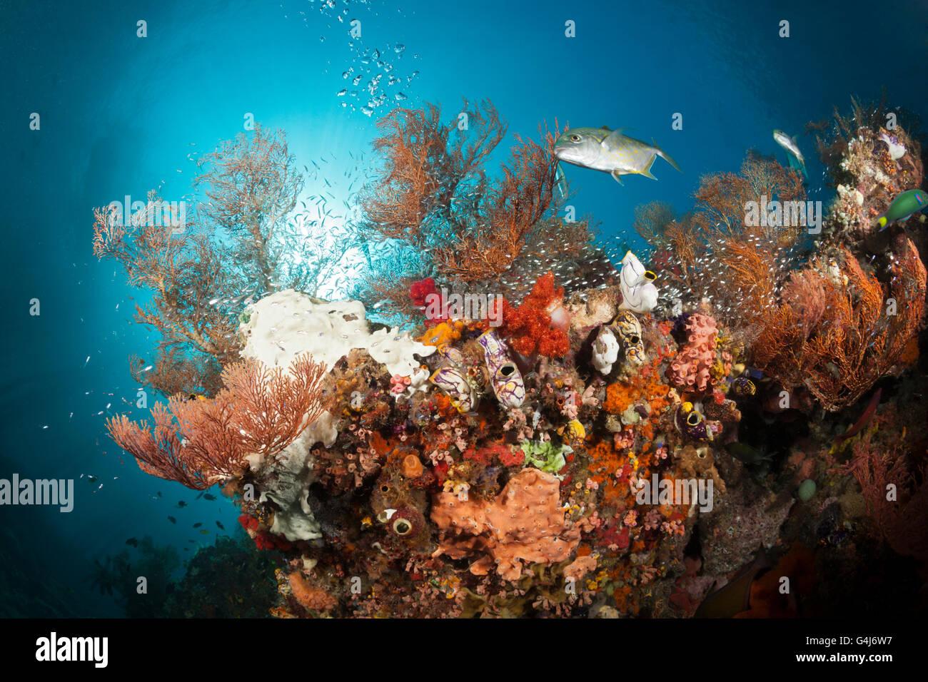 Les récifs coralliens colorés, Raja Ampat, Papouasie occidentale, en Indonésie Photo Stock