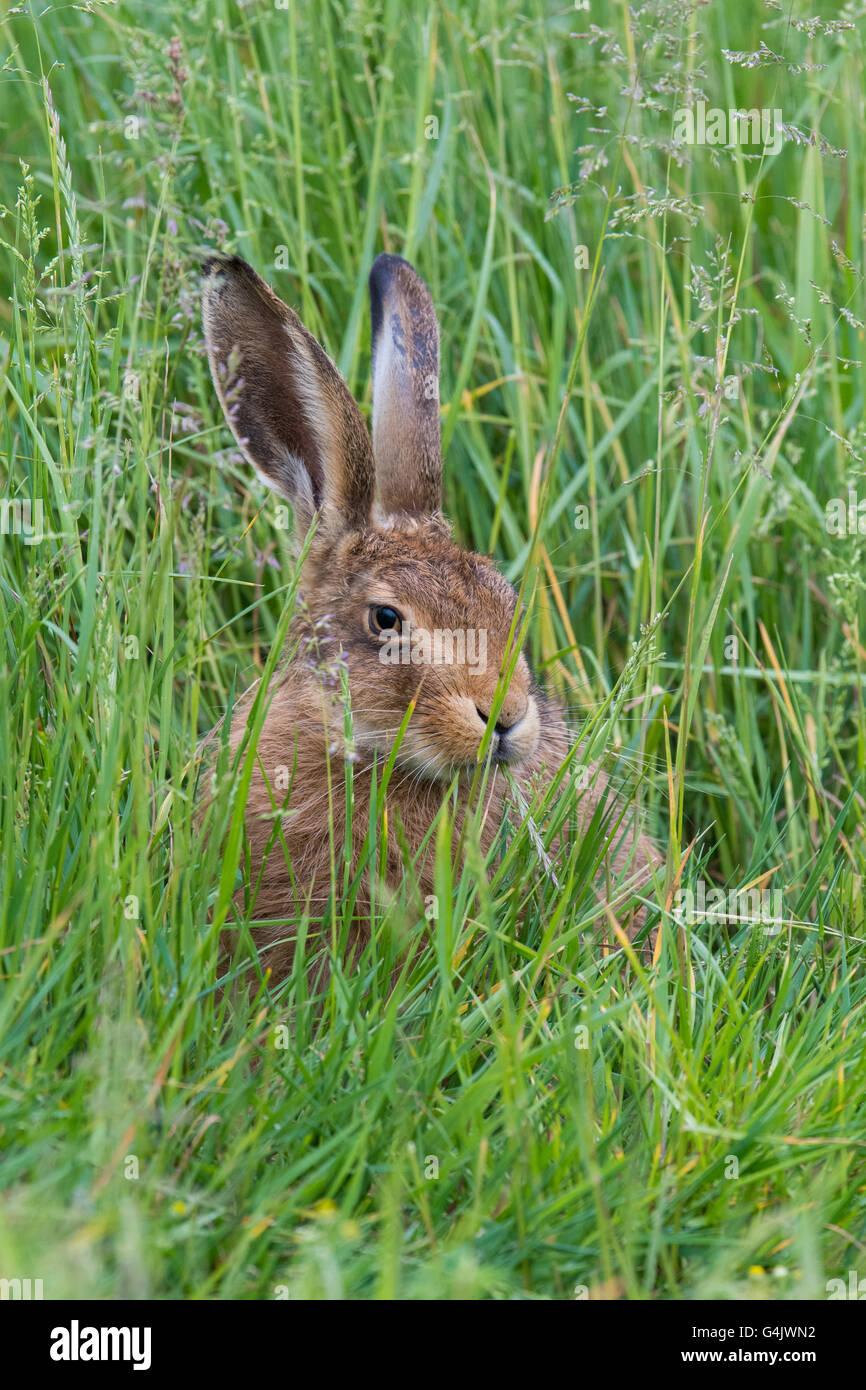 Lièvre brun (Lepus europaeus) mange de l'herbe. Photo Stock
