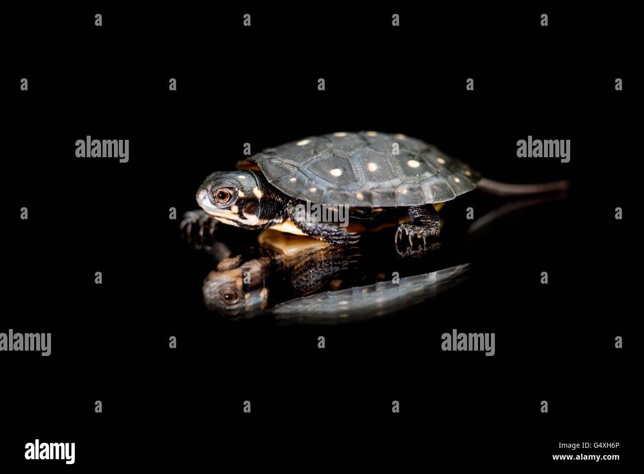Bébé Tortue ponctuée (Clemmys guttata) [] captifs - Brownsville, Texas, États-Unis Banque D'Images