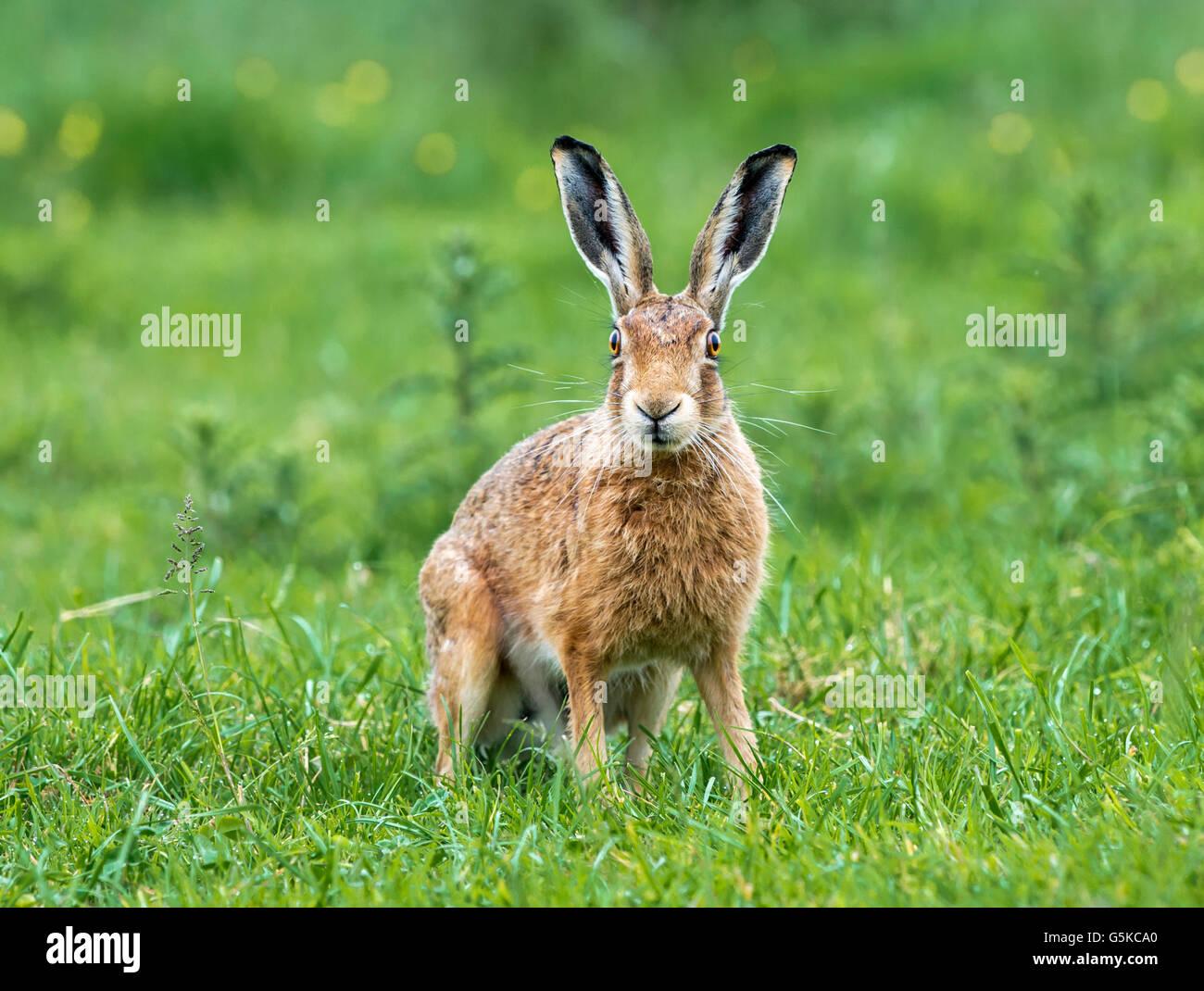 Un lièvre brun dans une prairie d'été Photo Stock
