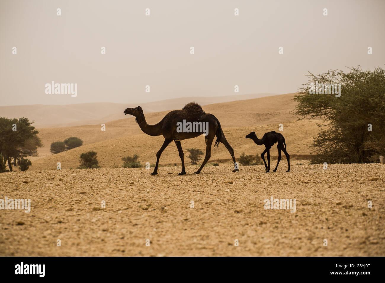 Kamel et bébé kamel en Arabie Saoudite désert Photo Stock
