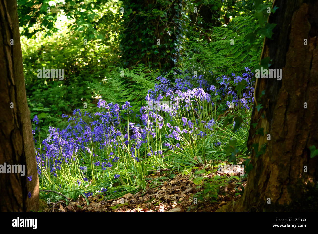 Audley's Wood Bluebells Co. vers le bas l'Irlande du Nord Photo Stock