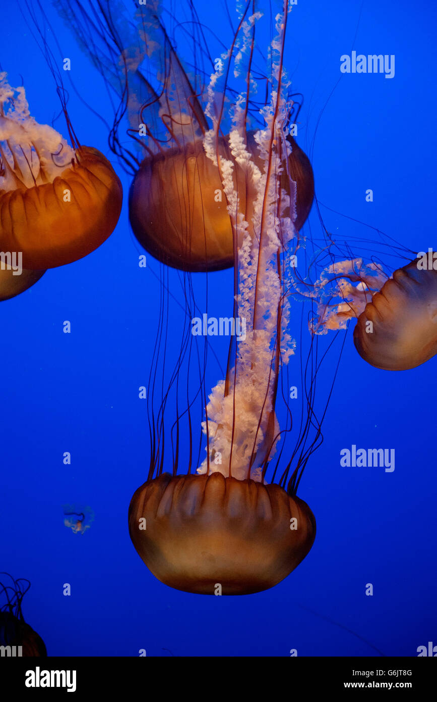 Pacific sea nettle jellyfish (Chrysaora fuscescens) Banque D'Images