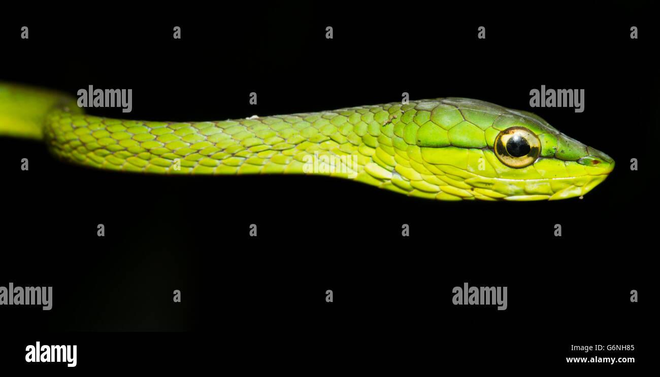 Serpent vert (Oxybelis brevirostris) au Costa Rica Banque D'Images