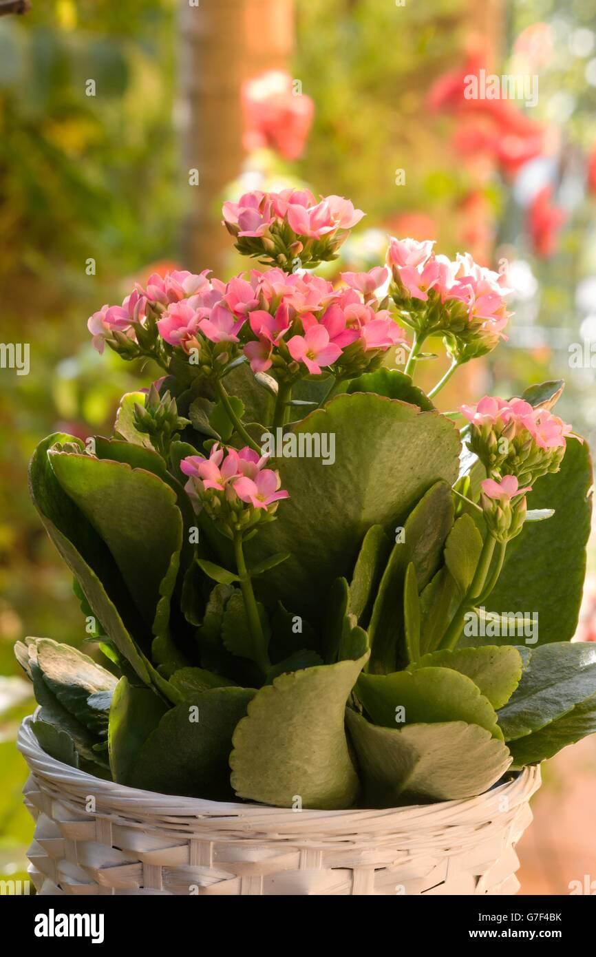 Plante En Fleur Kalanchoe Blossfeldiana Banque D Images Photo Stock