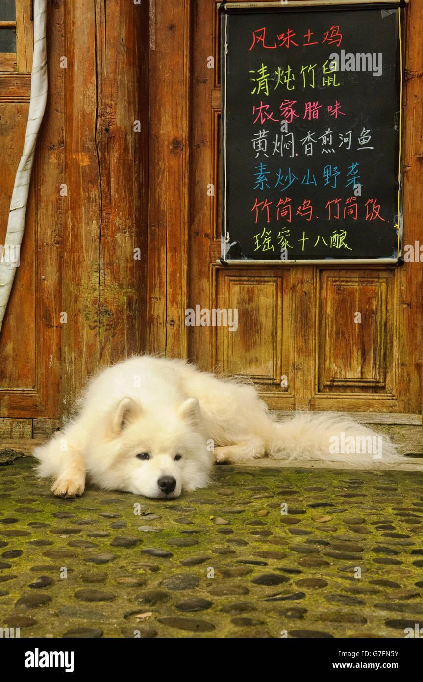 Husky blanc se détendre devant une loge dans un village de Ping', région autonome du Guangxi, Chine Photo Stock