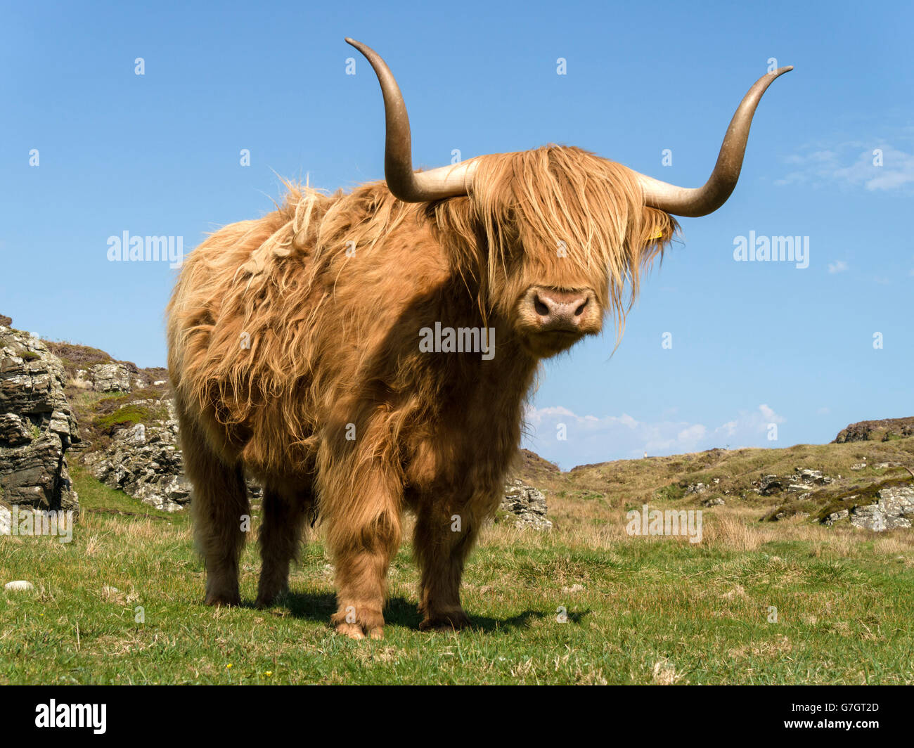 Scottish Highland cow, à l'île de Colonsay, Ecosse, Royaume-Uni. Photo Stock
