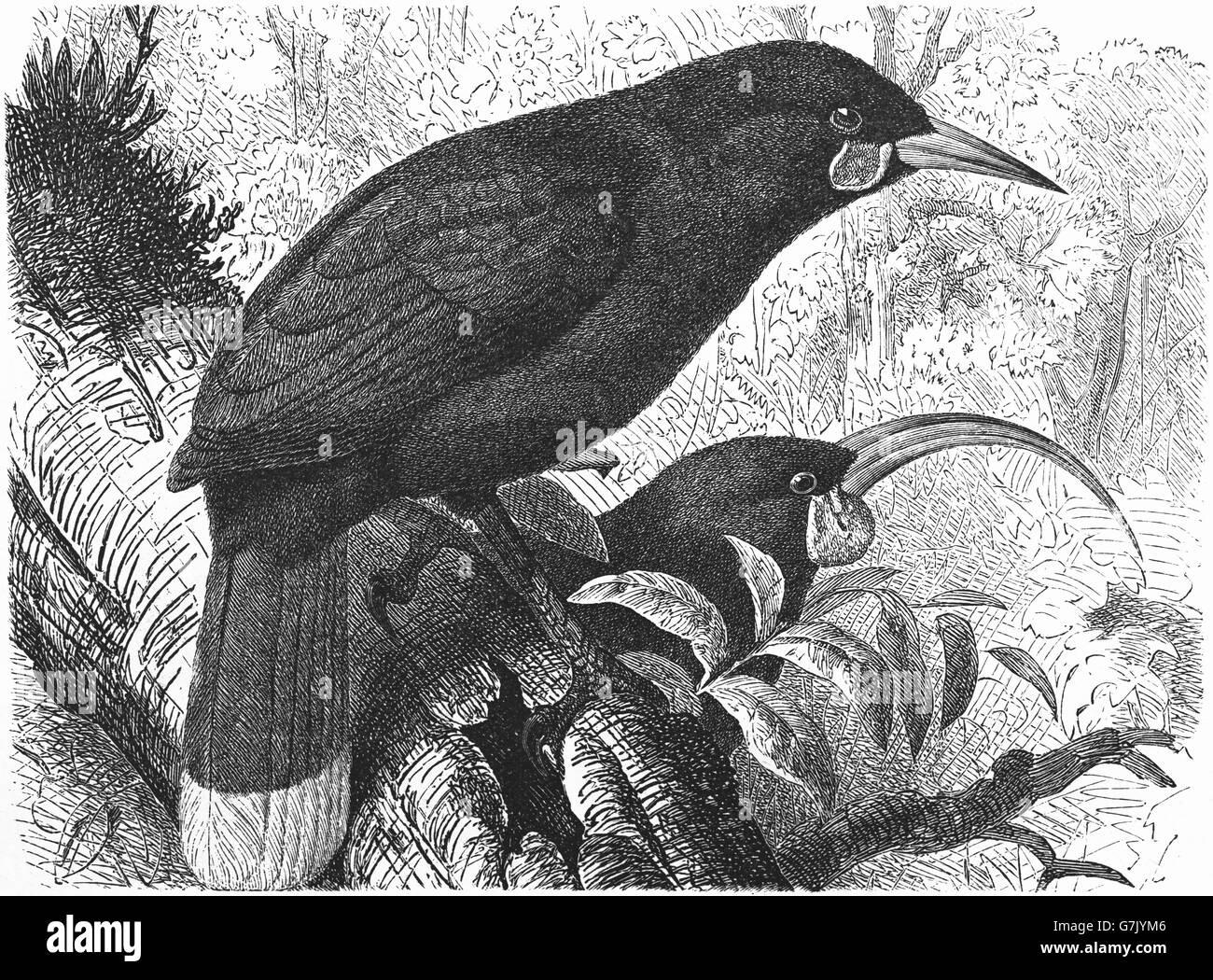 Huia Heteralocha acutirostris, illustration de livre, datée du 1904 Banque D'Images