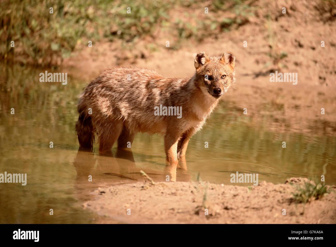 Le Chacal Canis aureus, européen, moreoticus mammifère unique dans l'eau, Roumanie, Juin 2016 Banque D'Images