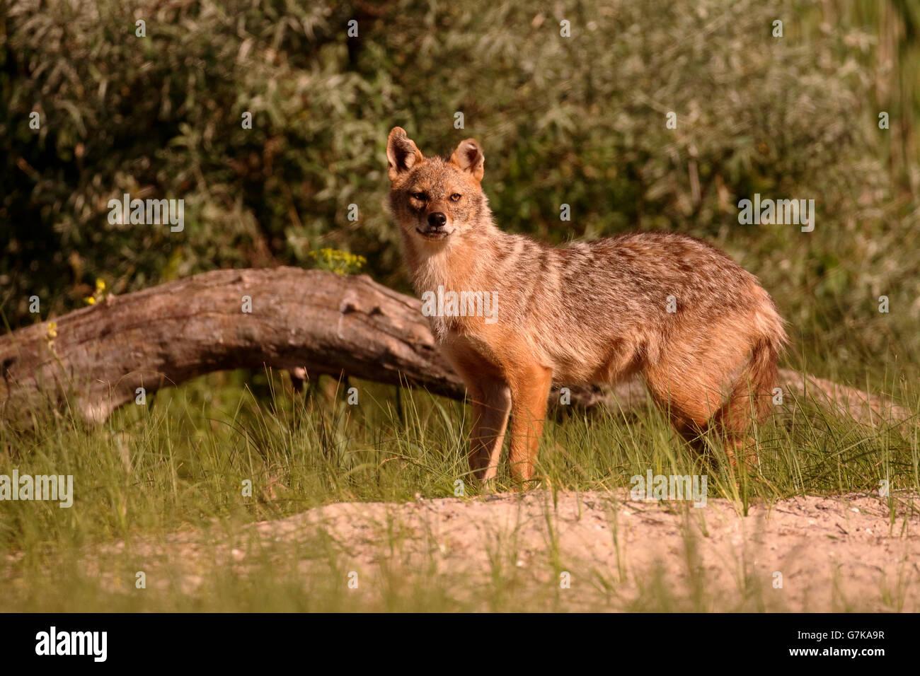 Chacal européen, Canis aureus moreoticus, seul mammifère de l'herbe, Roumanie, Juin 2016 Banque D'Images