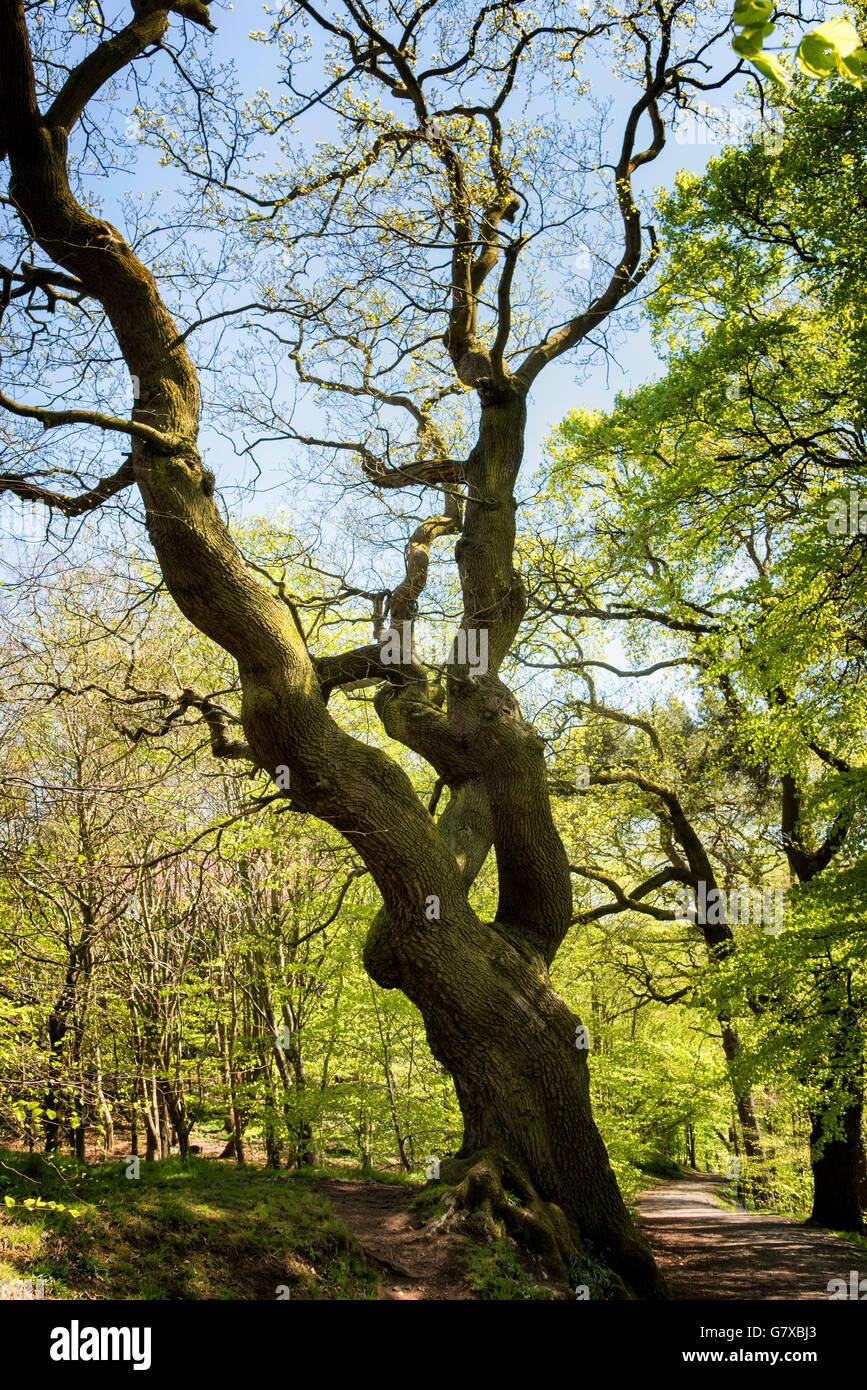 Arbre de chêne bois de hêtre dans l'Irlande du Nord Belfast Barnetts Park au début du printemps Photo Stock