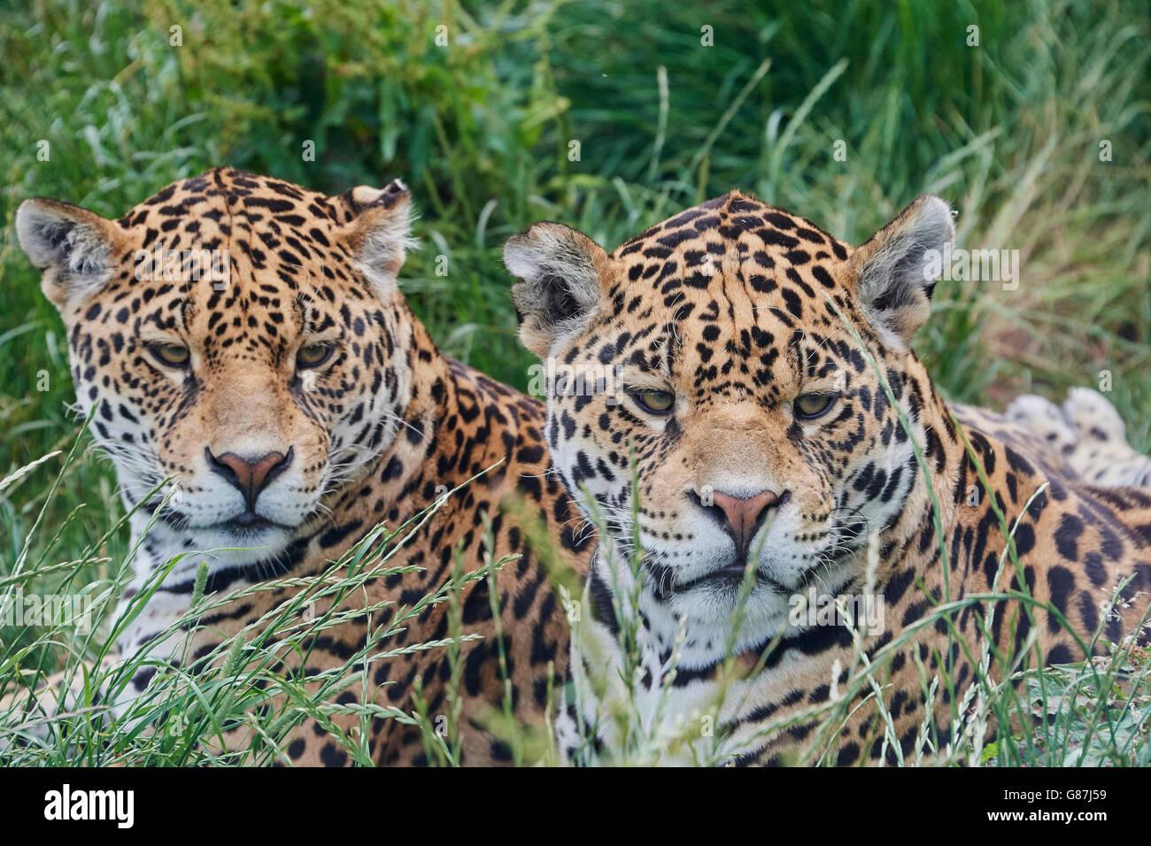 Le Jaguar est un gros chat, un félin dans le Panthera genre, et est le seul Panthera espèces indigènes de l'Amérique. Banque D'Images
