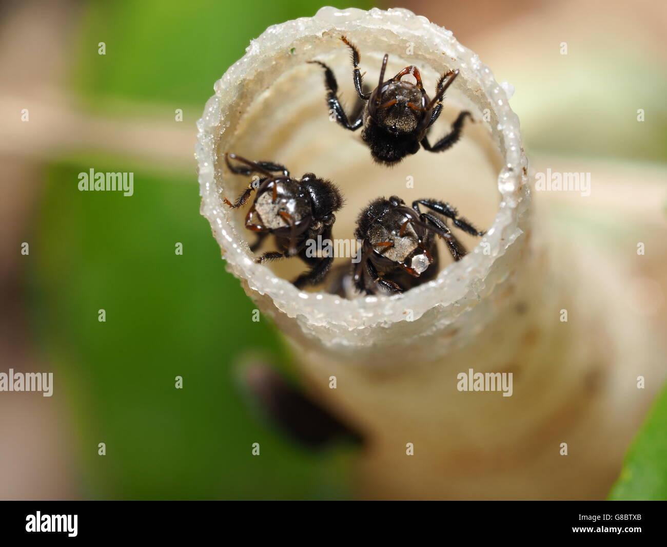 Bee,bug,libre,jardin,insectes,miel, macro,travailleur,sauvage,sans dard Photo Stock