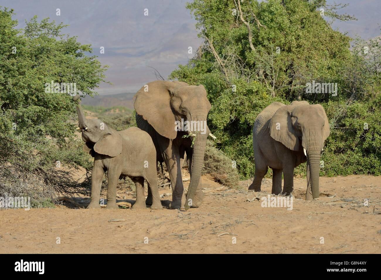 Les éléphants du désert ou de l'éléphant (Loxodonta africana), dans la rivière à sec de l'Huab, Damaraland, Namibie Banque D'Images