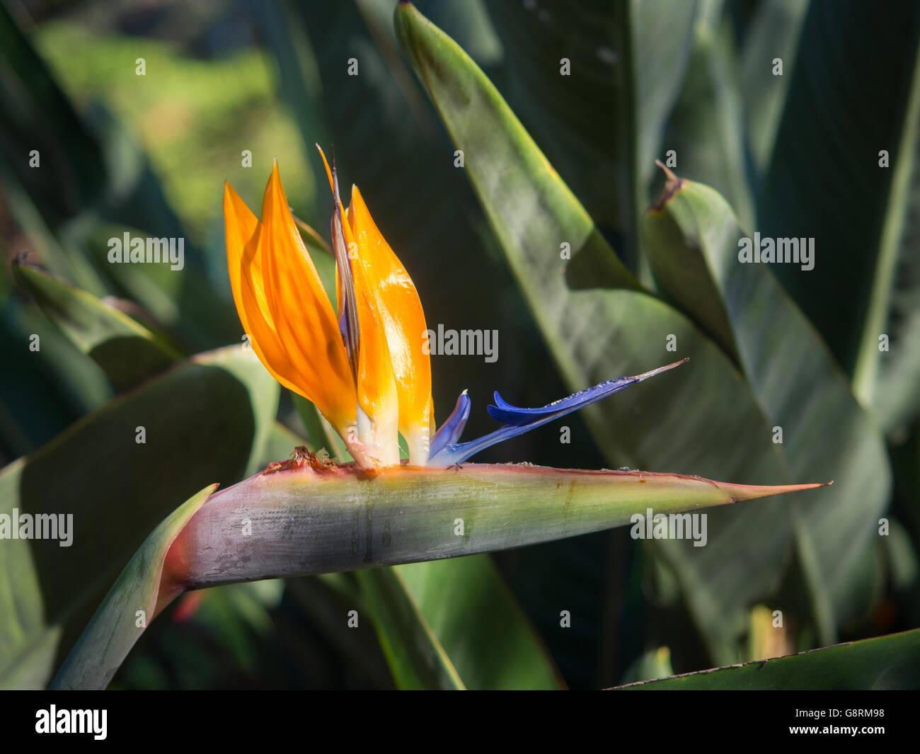 Strelitzia Oiseau De Paradis Fleurs Dans Un Jardin A Tenerife
