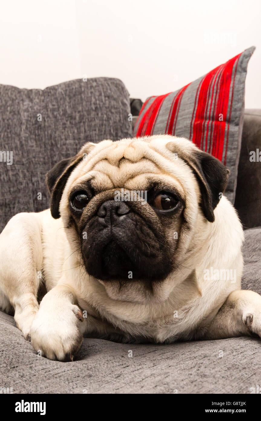 Un chien pug sur un canapé gris Photo Stock