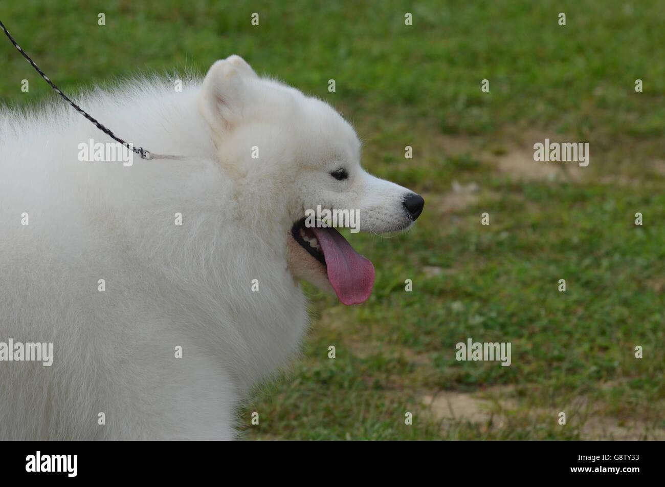Cute white American Eskimo avec sa langue rose passer du temps. Banque D'Images