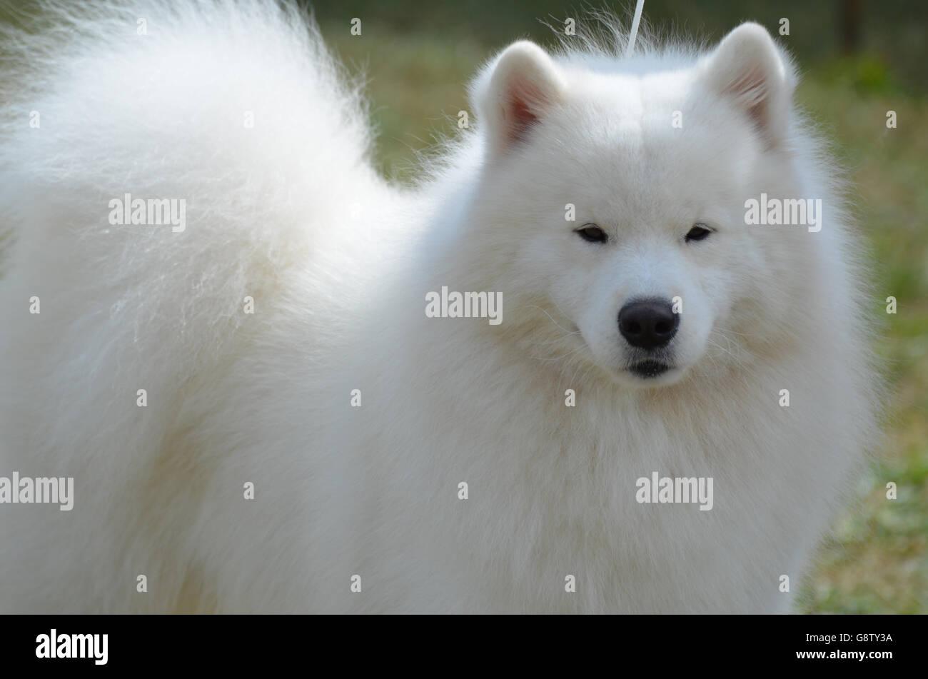 Très belles pistes moelleux American Eskimo Dog. Banque D'Images